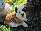 Adoraveis cachorros bulldog ingleses para adocao