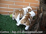 Presente dois cachorros bulldog ingleses