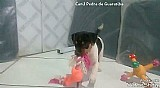 Terrier brasileiro (fox paulistinha)