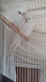Calopsitas - casal albino