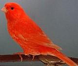 Canarios roller vermelhos e cobres