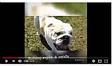 Troca-se bulldog ingles por gato bengal ou exotico
