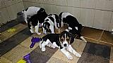 Filhotes de beagle canil cruz e costa