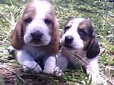 Filhotes de basset hounds
