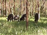 Colocacao de cabecas de gado em fazendas de eucalipto vale do paraiba