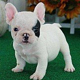 Bonito bulldog frances