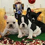 Bela  bulldog frances