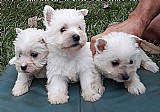 West highland white terrier - lindos filhotes