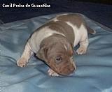 Terrier brasileiro tricolor de isabela