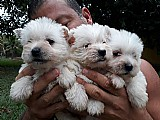 West highland white terrier e maltes disponiveis para reservas