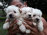 West highland white terrier e maltes disponiveis para reservas