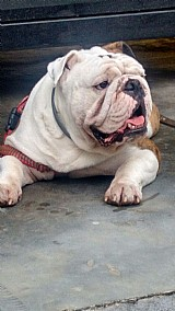 Bulldog ingles