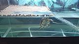 Aquario com tartaruga tigre