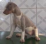 Terrier brasileiro filhotes disponiveis