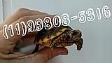Jabuti baby (11)99808-5316