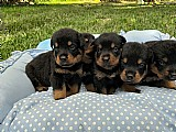 Rottweiler - excelente linhagem - filhotes de excelencia rj
