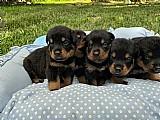 Rottweiler - canil especializado - seropedica rj