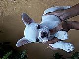 Lindos bulldog frances disponiveis