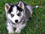 Husky siberiano pedigree