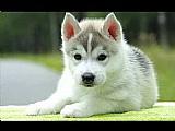 Lindos filhotes de husky siberiano machos,  olhos bicolores