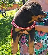 Filhotes de rottweiler - todo vacinado e pedigree cbkc