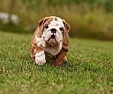 Bulldog ingles para venda