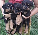 Canil de rottweiler - lindos filhotes disponiveis