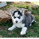 Filhotes husky siberian whatapp  31687219453
