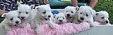West highland white terrier - lindos filhotes rj