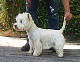 Canil de west highland white terrier rj