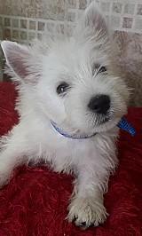 West highland white terrier - lindos filhotes disponiveis rj