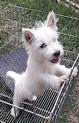 West highland white terrier - lindos filhotes disponiveis seropedica rj