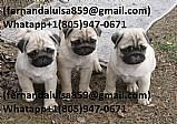 Pug whtapp 1(805)947-0671 lindos