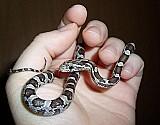 Corn snake - cobra do milho