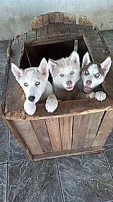Filhotes e  husky siberiano