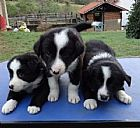 Border collie filhotes lindos