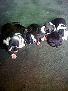 Boston terrier filhotes lindos