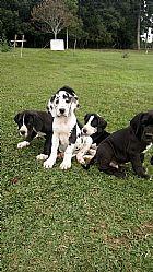 Filhotes de dog alemao com pedigree e microchip