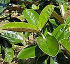Planta canela de velho (miconia albicans)
