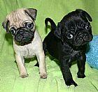 Cachorros de pug de teacup para adocao gratuita
