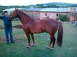 Cavalo crioulo BT