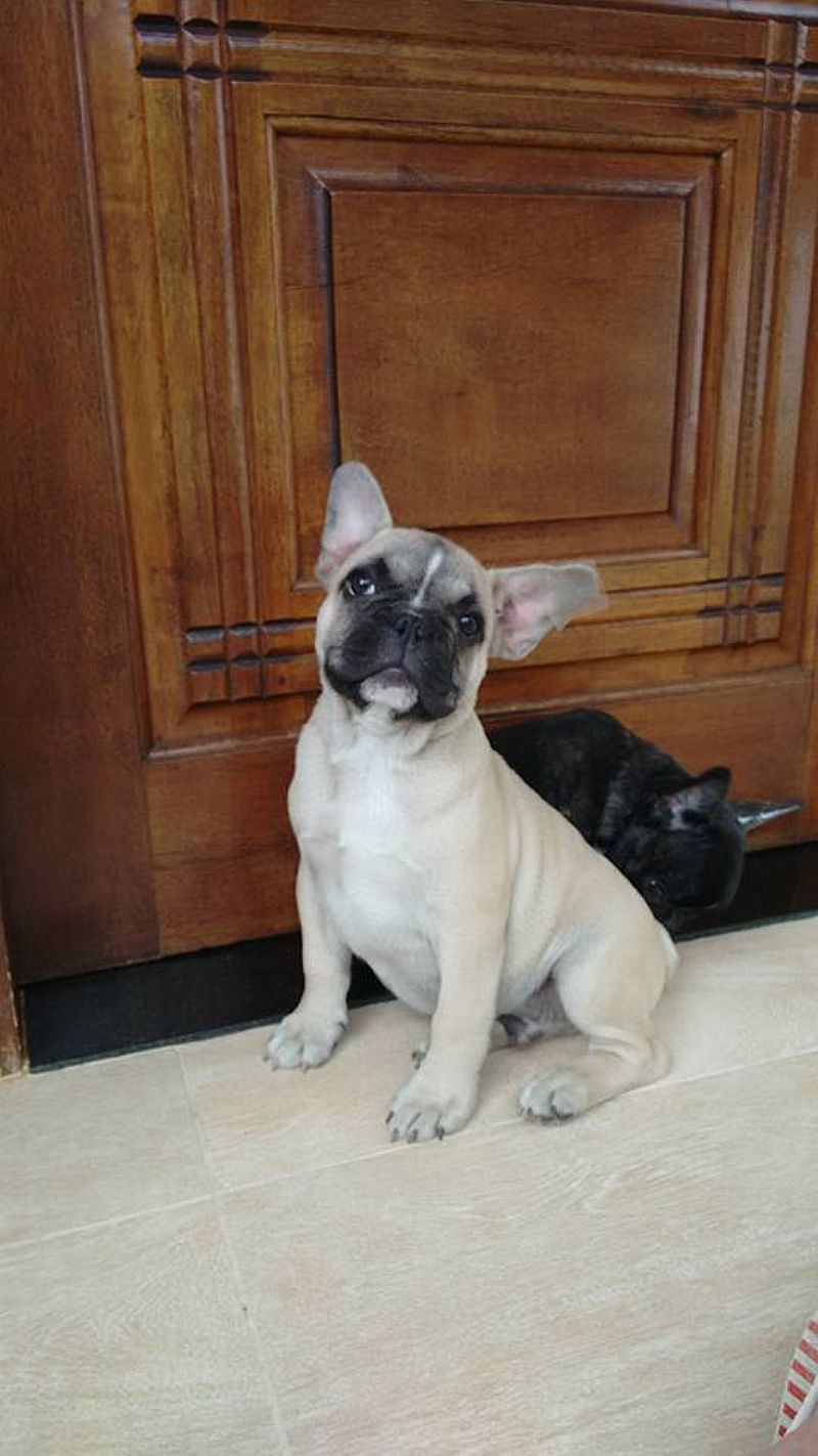Bulldog Frances filhotes Sao Paulo