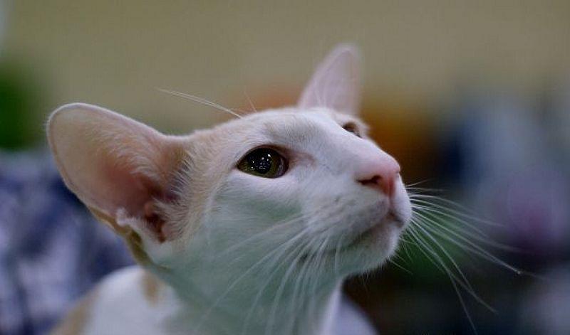 Filhote de gato oriental branco