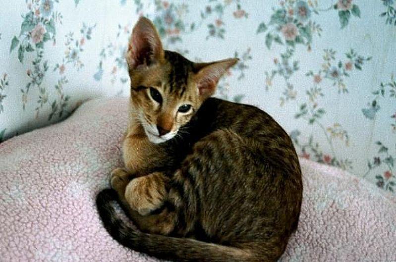 Filhote de gato oriental shaded silver