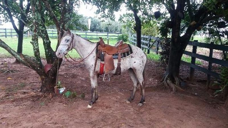 Egua marchadeira,  Cavalo,  Burro,  Mula,  Apaloosa