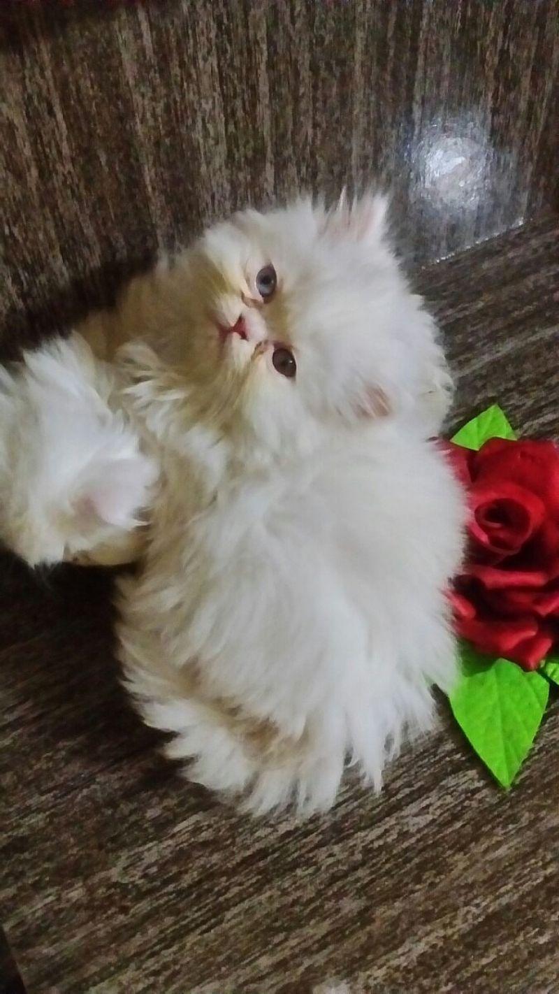 Filhotes De Gatos Persas Exoticos E Padrao Show