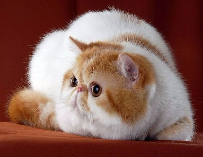 Filhotes De Gato Exotico!