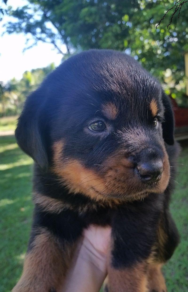 Filhotes de Rottweiler e Shihtzu - Seropedica RJ