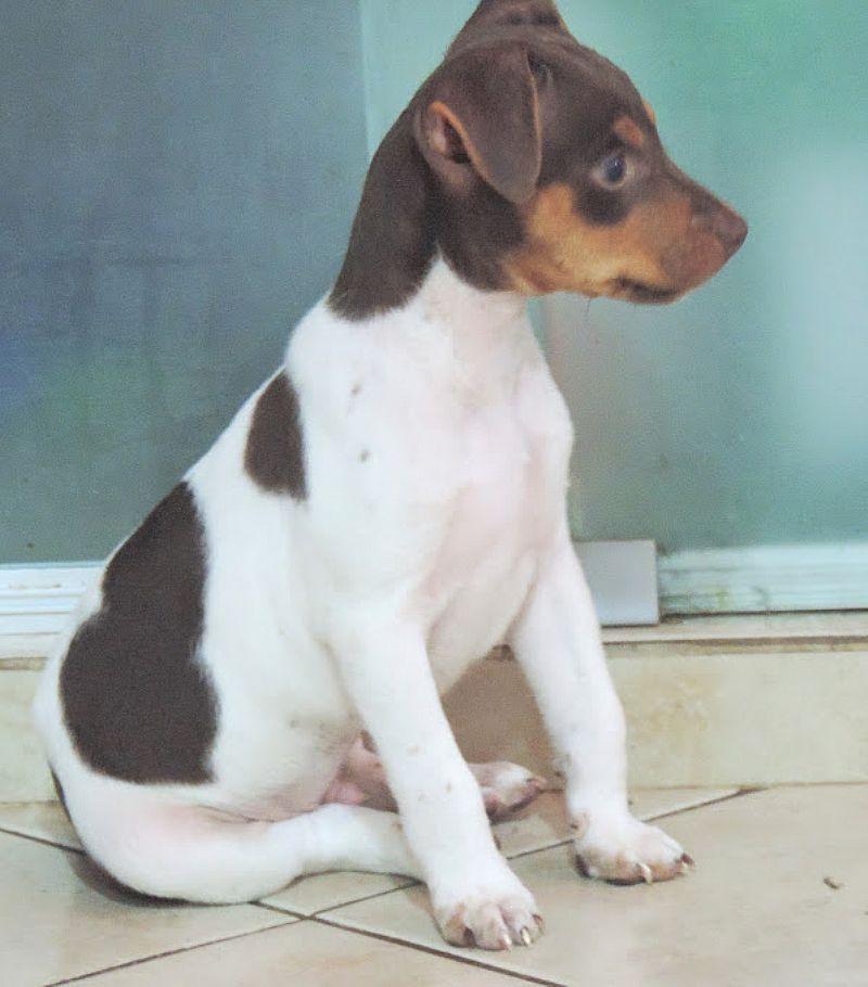 Terrier brasileiro filhotes