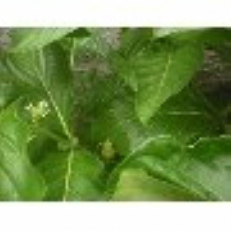 Muda da fruta noni (40 cm)